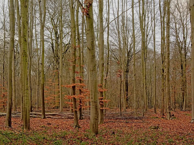 Winter beech forest in the Flemish countryside. Many bare young beech tree trunks shrubs in forest in Het Leen nature reserve, Eeklo, Belgium royalty free stock photo