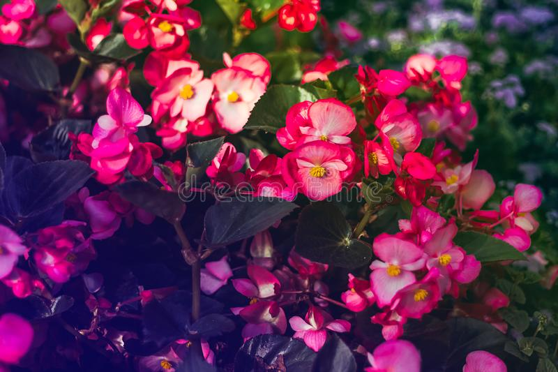 Many beautiful begonia flowers close up. Pink colors royalty free stock photo