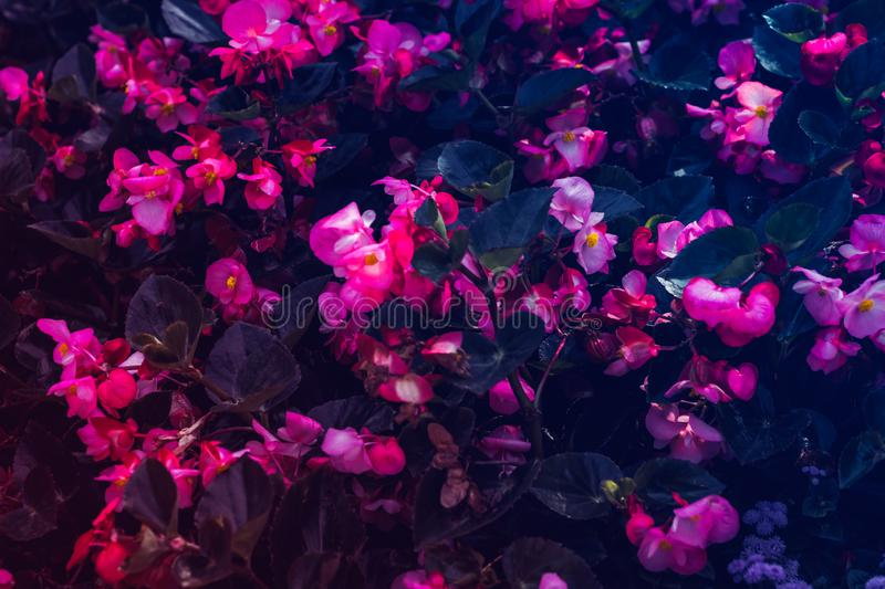 Many beautiful begonia flowers. Pink and yellow colors. Many beautiful begonia flowers close up. Pink and yellow colors stock images