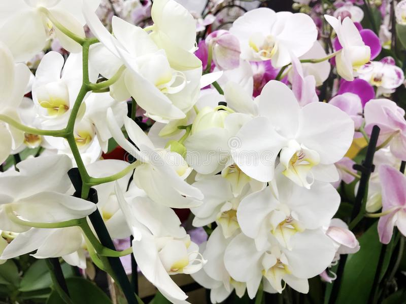 Beautiful blooming orchid flowers -closeup stock photo