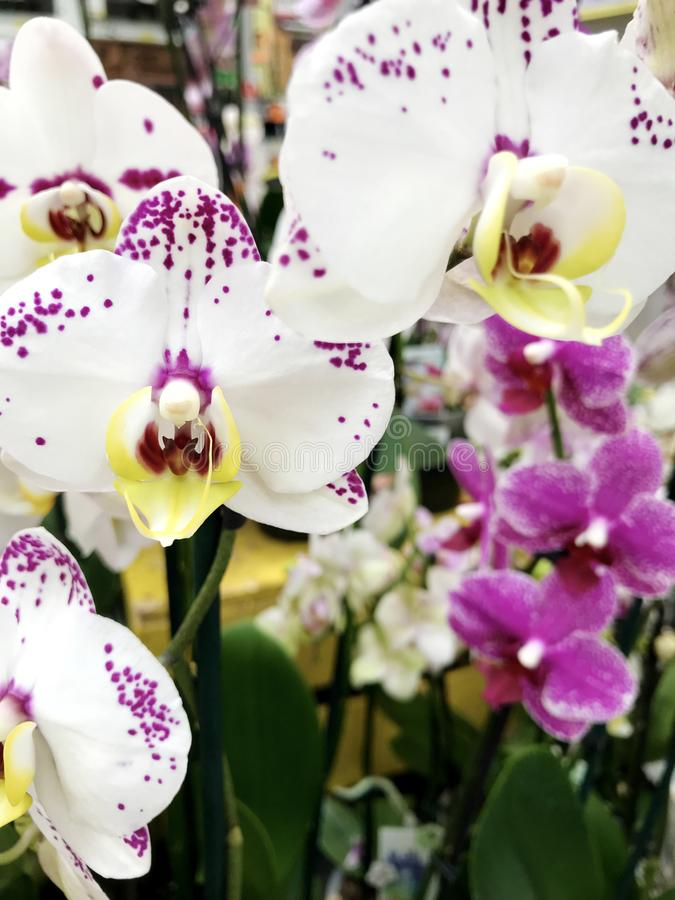 Beautiful blooming orchid flowers -closeup stock image
