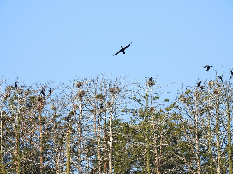 Cormorant birds on old tree branch, Lithuania royalty free stock images