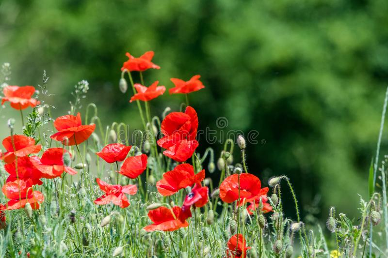 Many beautiful red flowers, poppies on a beautiful green background stock image
