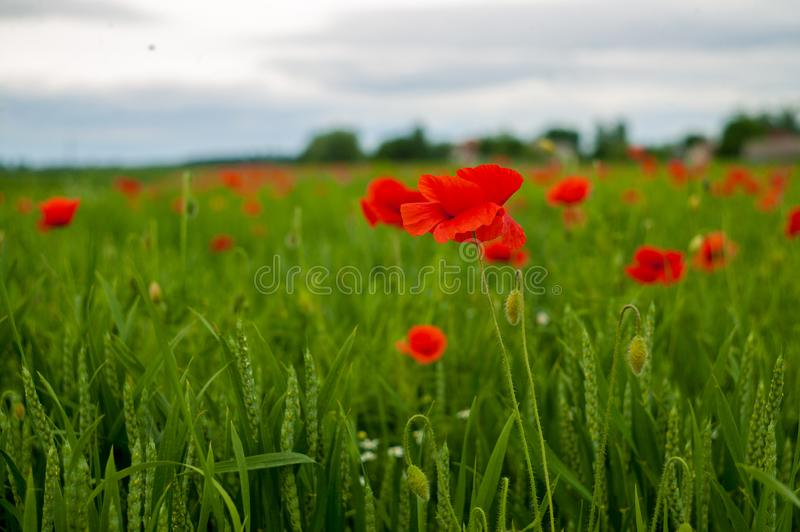 Many beautiful red flowers, poppies on a beautiful green background. royalty free stock images