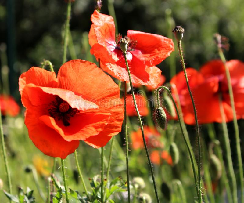 Many beautiful red flowers, poppies on a beautiful green background. Other names are Papaver rhoeas, common poppy, corn poppy, royalty free stock photography