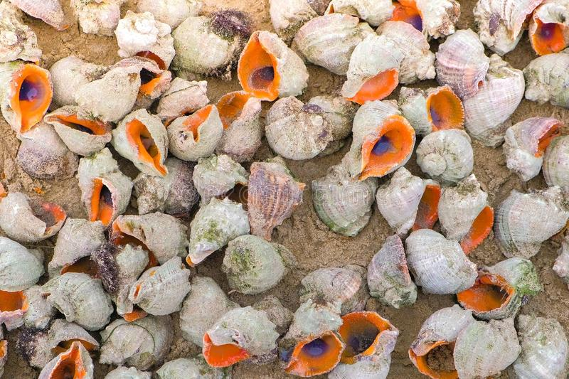 Many beautiful shells of rapan in the sand on the black sea coast. stock image