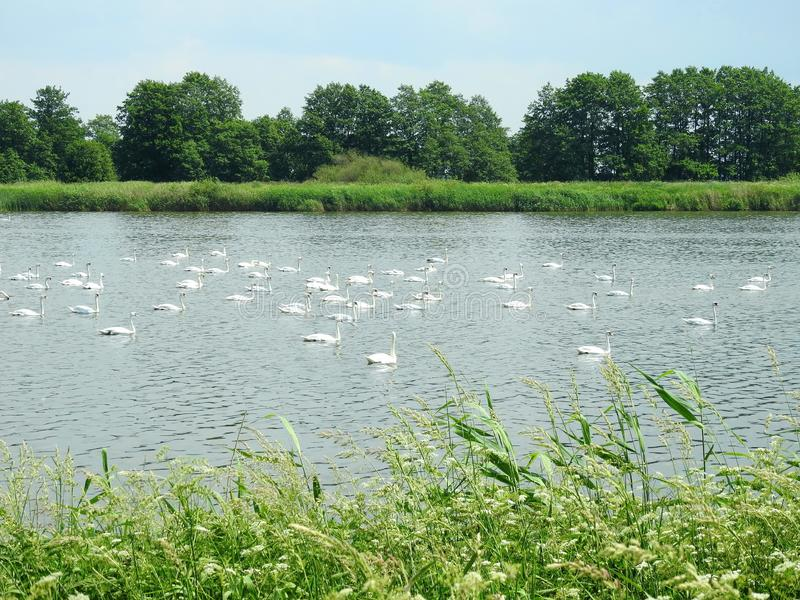 White swans in small lake, Lithuania stock photo