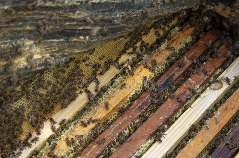 Many bees close-up in the photo. The beekeeper is working royalty free stock images