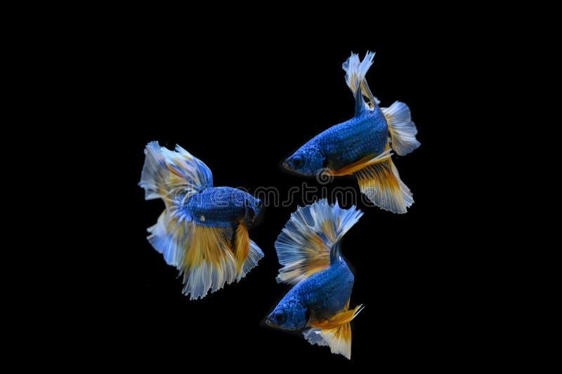 Many betta fish in Thailand. Many betta of Thailand on wallpaper background stock photo
