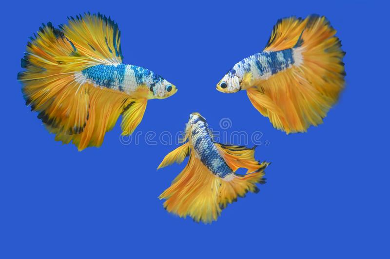 Many betta fish in Thailand. Many betta of Thailand on wallpaper background stock photography