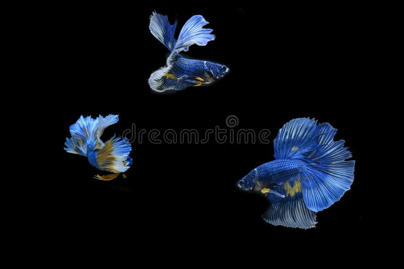Many betta fish in Thailand. Many betta of Thailand on wallpaper background royalty free stock image