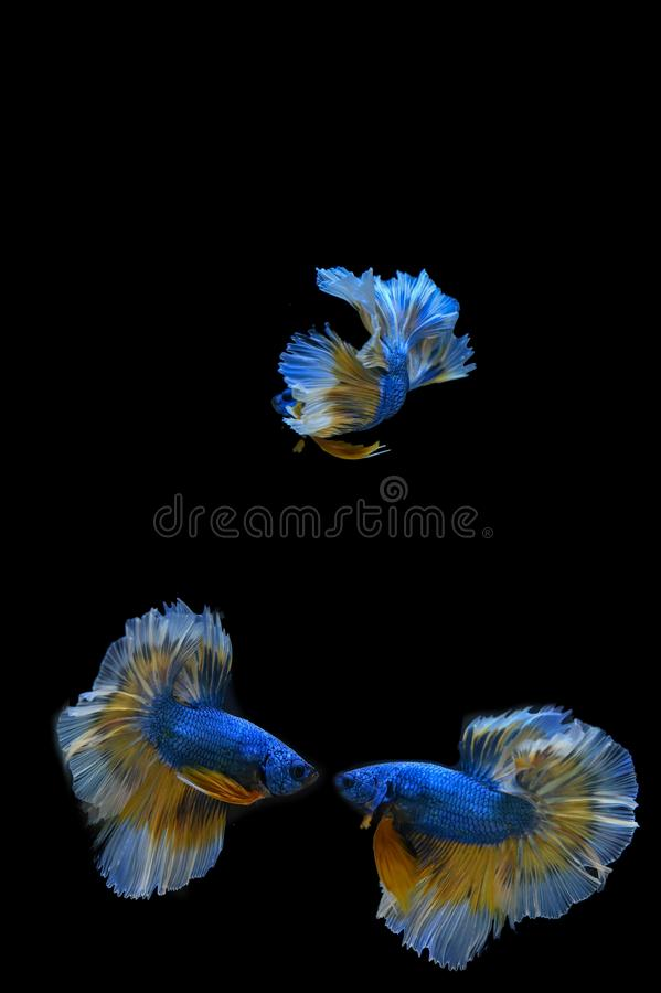 Many betta fish in Thailand. Many betta of Thailand on wallpaper background stock image