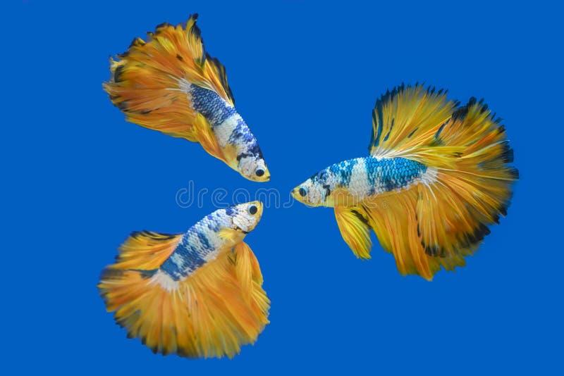 Many betta fish in Thailand. Many betta of Thailand on wallpaper background royalty free stock photo