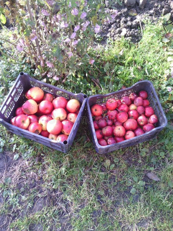 Many big red apples in plastic black boxes. Pink flowers. Land and green grass. Autumn day. stock photo