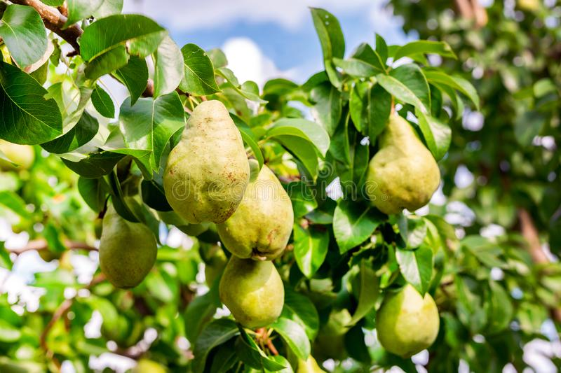 Many big ripe tasty juicy pears growing on tree in orchard. Healthy organic bio fruit natural background. Harvest season concept stock photos
