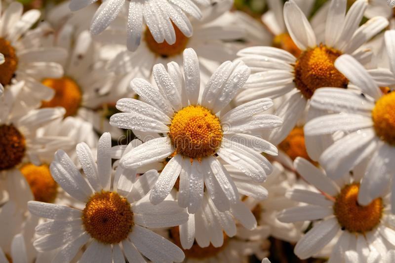 Many big wild Oxeye dasies close up. Big wild daisy Oxeye flowers close up with morning dew. Natural plants in nature setting. White petals and yellow heads stock photo
