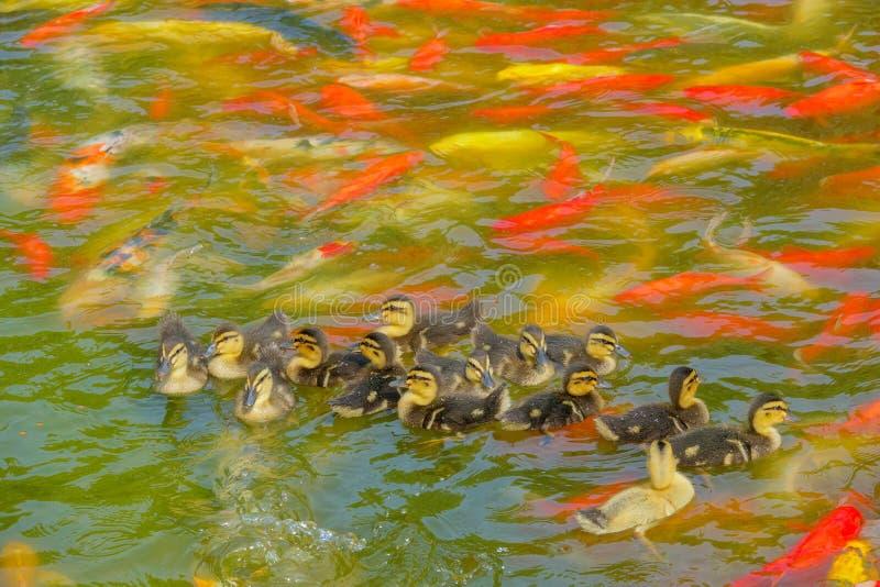 Mallard birdlings and koi carps stock photo