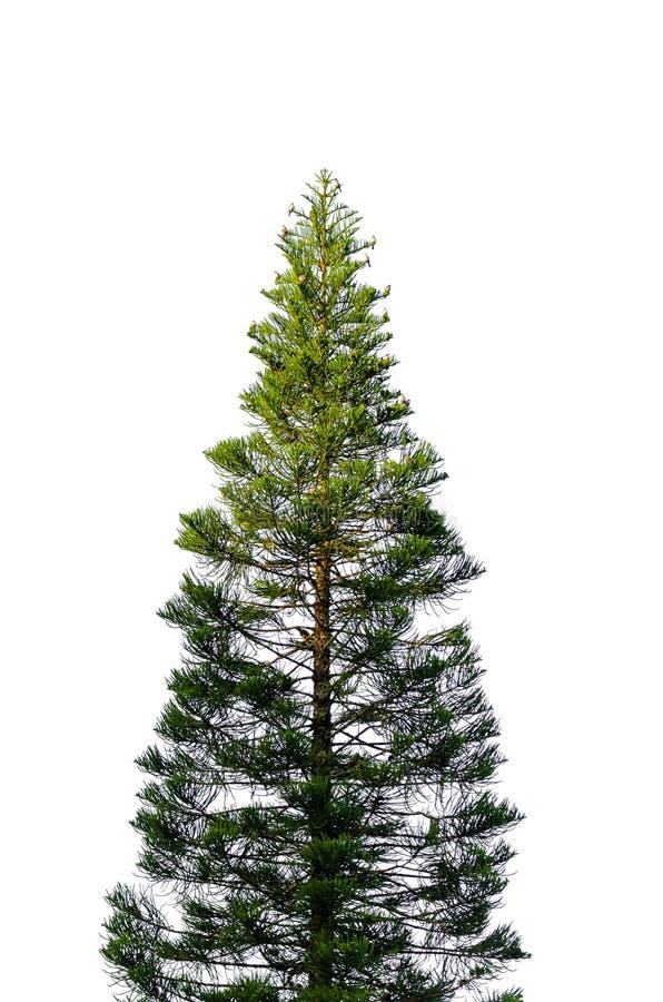 Many birds catch on pine tree royalty free stock image