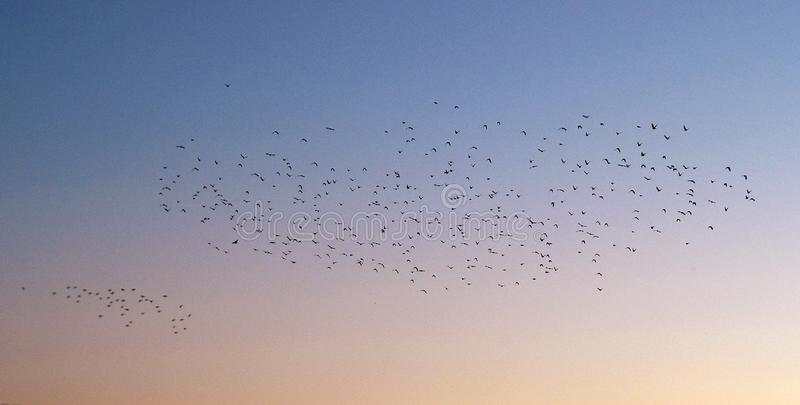 Many birds in the sky. In the evening royalty free stock photo