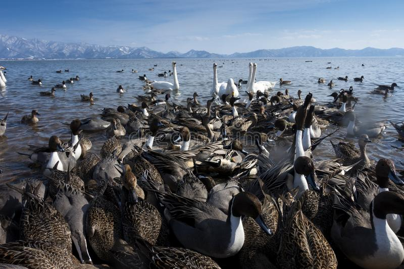 Many of birds wide life are in the lake in Fukushima, Japan. During winter royalty free stock photo