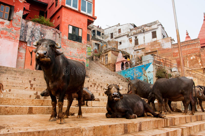 Many black buffalos have rest on the streets stock images