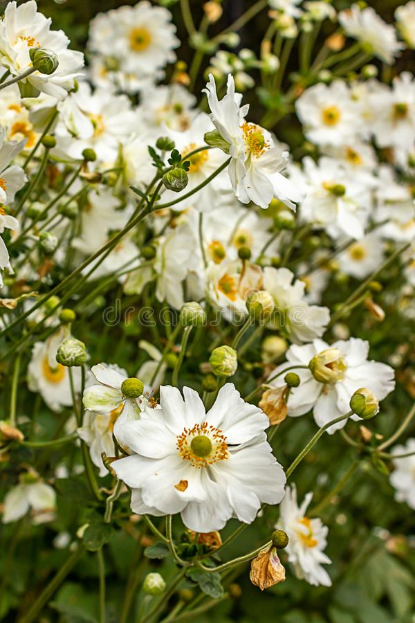 Blooming white and yellow flowers with green stems. Many blooming white and yellow flowers with green stems stock images