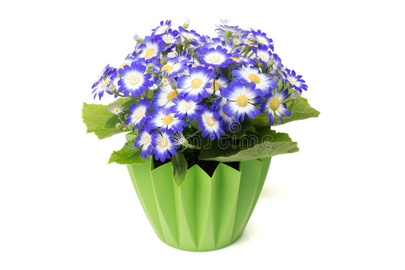 Many blue cineraria flowers in a green flower pot. Many blue cineraria flowers in a green flower pot on white background stock images