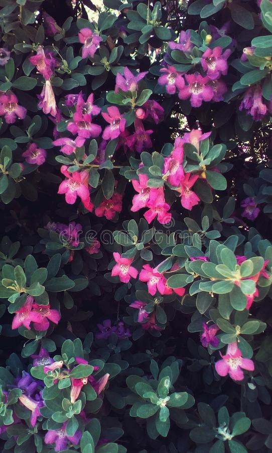 Texas sage plant. Many branch with purple-pink bell-shape flower in closeup.Leucophyllum frutescens ,known as Texas sage or Texas Ranger,ash-bush,purple sage or royalty free stock photos