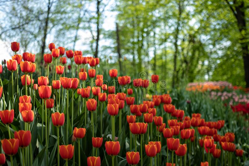 Many bright orange tulips in the Park on a Sunny day royalty free stock image