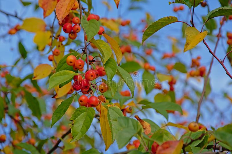 Many bright red winterberries and green and yellow leafs on a clear blue sky royalty free stock photos