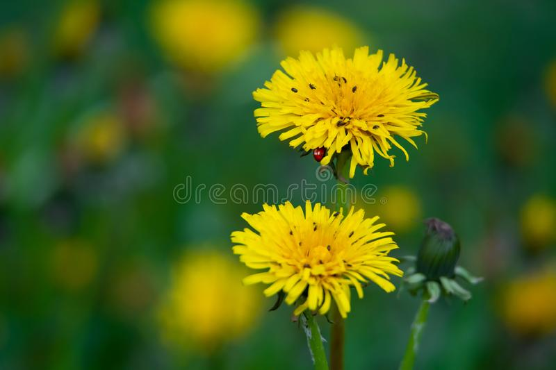 Many bugs and hidden ladybird on a flowering dandelion. Many little bugs and hidden ladybird on a flowering dandelion royalty free stock photography