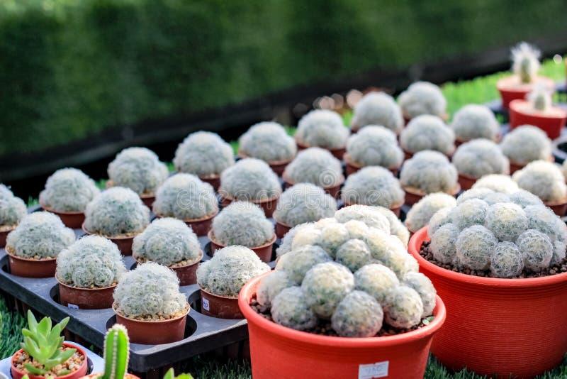 Many Cactus stock image