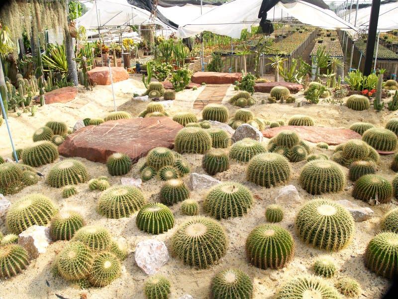 Many cactus trees planted around the large stone stock image