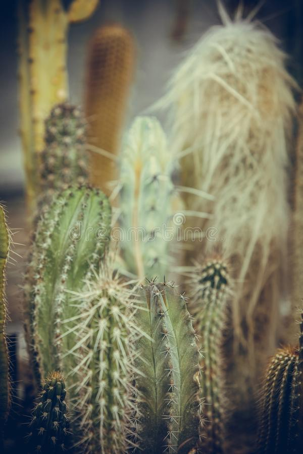 Many cactuses in a greenhouse. Close up shot of some cactuses in a greenhouse stock photo