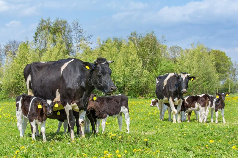 Many calves drinking from two  cows in dutch meadow stock photography