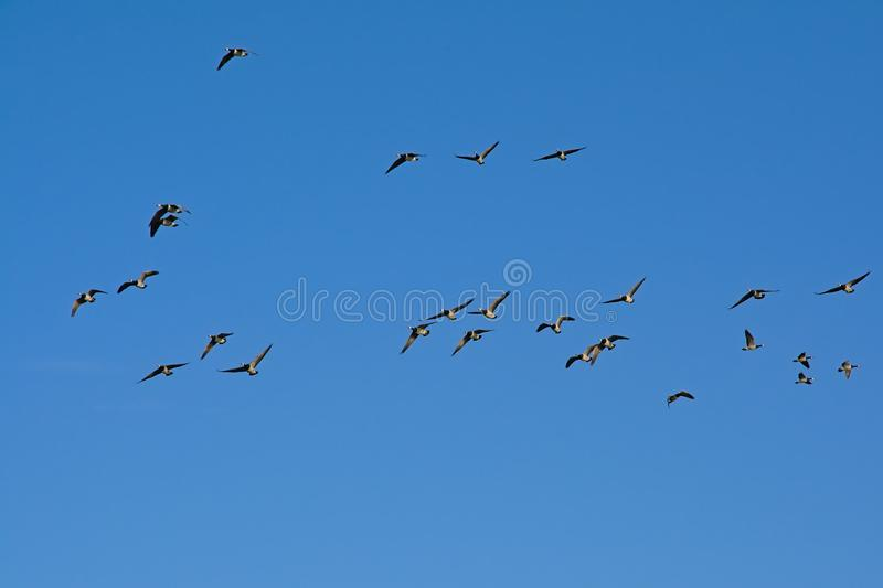 Flock of canada geese, flying on a clear blue sky - Branta canadensis. Many canada geese, flying on a clear blue sky, view from below - Branta canadensis stock photo