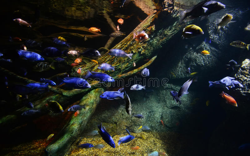 Many cichlid. Swimming on aquarium stock photo