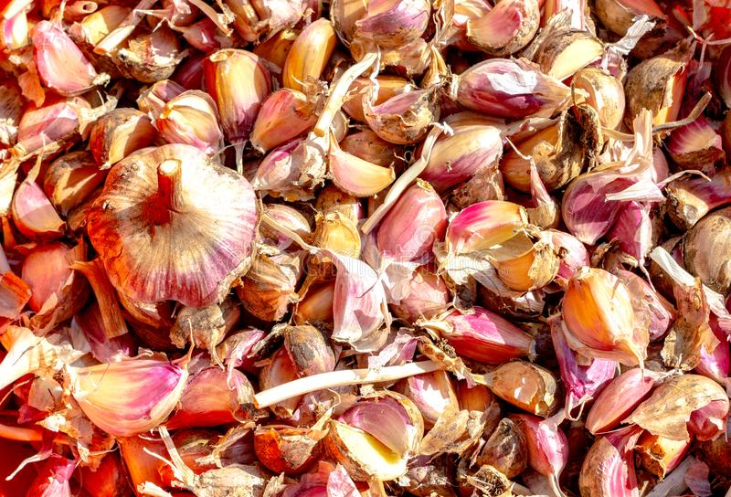 Many cloves and one bulb of garlic grown in an environmentally friendly way. A lot of dirty fresh garlic as a background. Closeup of a good crop of wholesome royalty free stock images