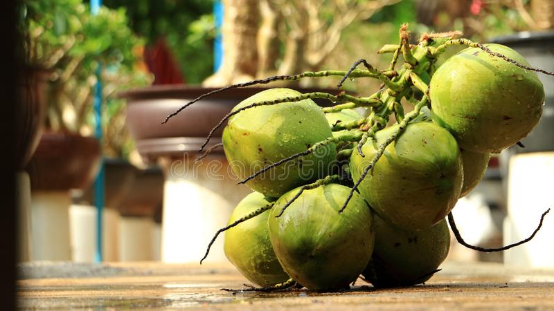 Many coconut are stacked, coconut separated from coconut,coconuts in the garden stock photography