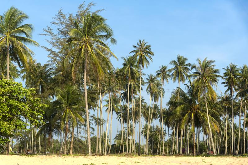 Coconut trees on the beach stock photography