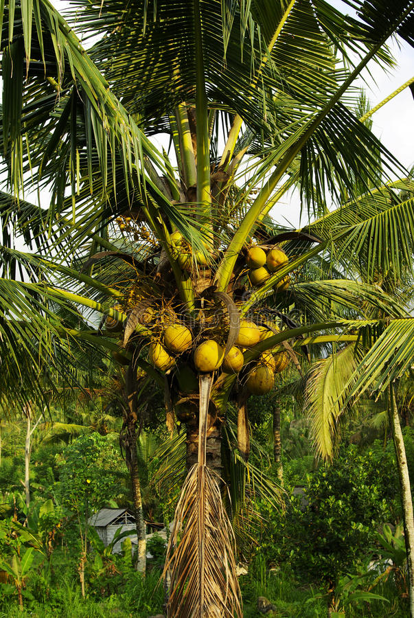 Download Many coconuts on a palm stock photo. Image of indonesia - 12902796