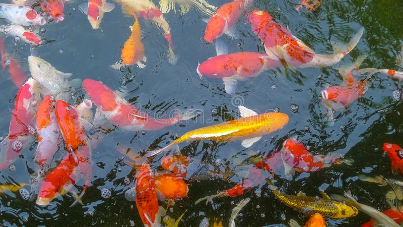 Many Colored Koi Carps in a Pond,Japan fish call carp or koi fish colorful royalty free stock image