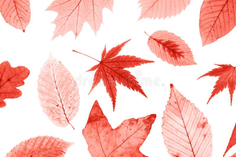 Many colorful autumn leaves isolated on white background. royalty free stock photography