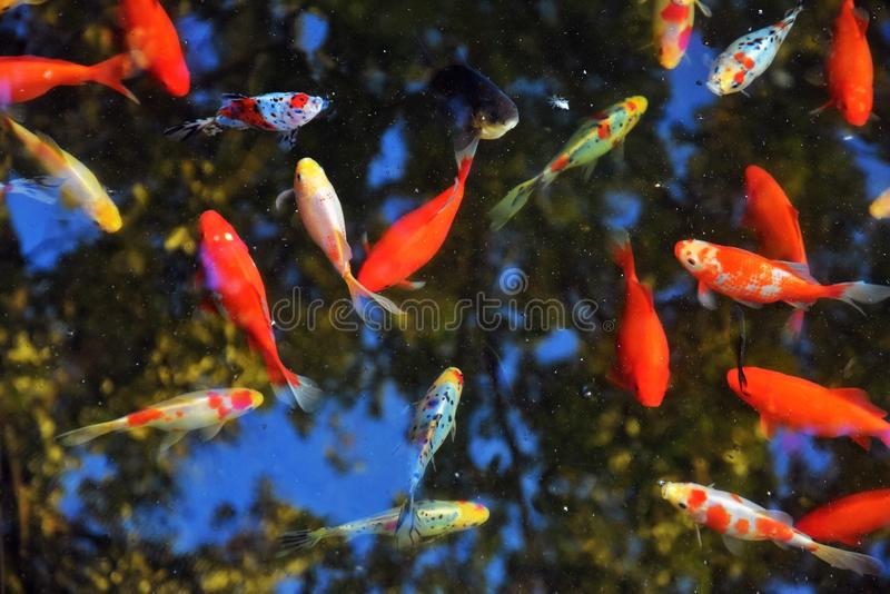 Many colorful fishes in a pond. Color photo taken in Zaryadye park in Moscow stock photos