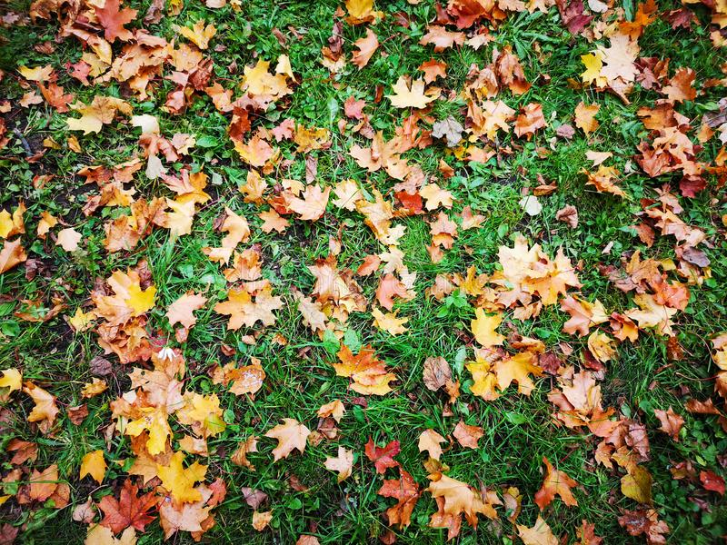 Many colorful maple leaves fallen during the autumn leaf fall on green grass. Close-up, background. royalty free stock photos