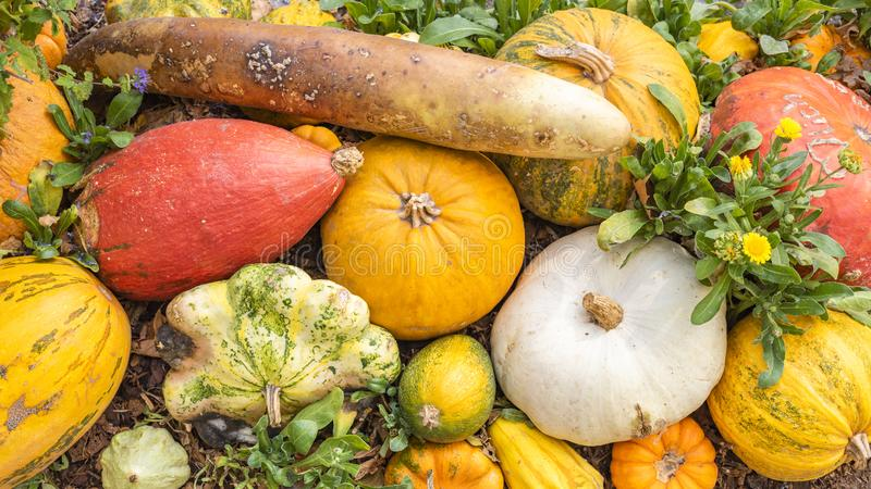 Many coloured big and small pumpkins. On a heap stock photography