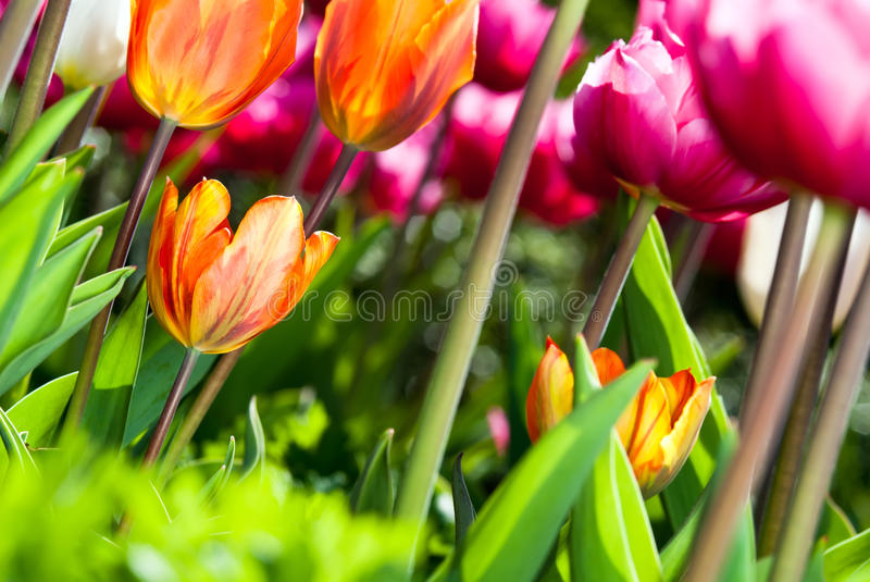 Download Many Coloured Tulips V3 Royalty Free Stock Photo - Image: 19312105