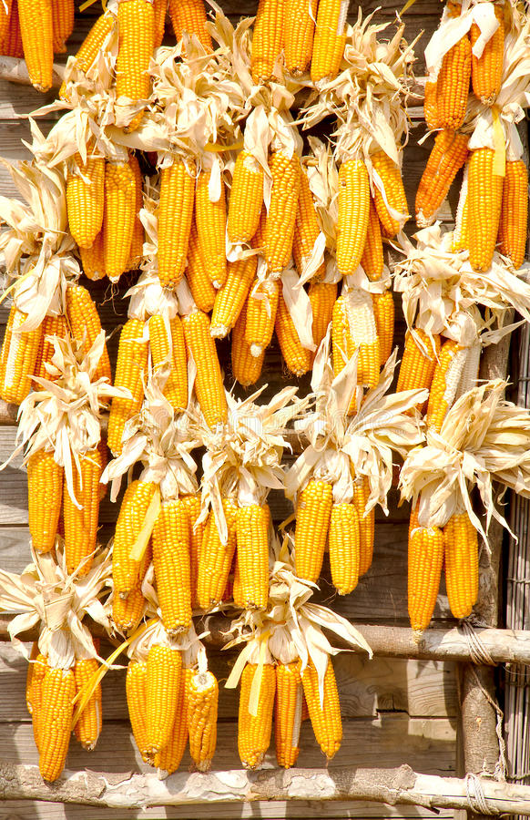 Download Many corn. stock photo. Image of industry, culture, objects - 32078618
