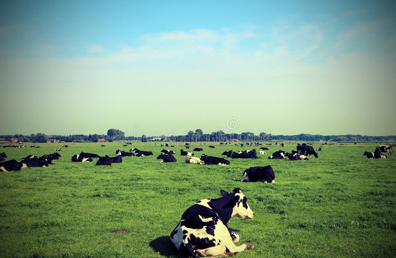 cows grazing in the plain stock photo