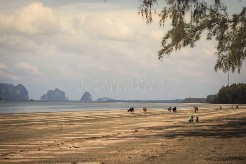 Many cows walking on the beach. Pak Meng Beach, Chao Mai Beach National Park, Trang, Thailand.  stock photography